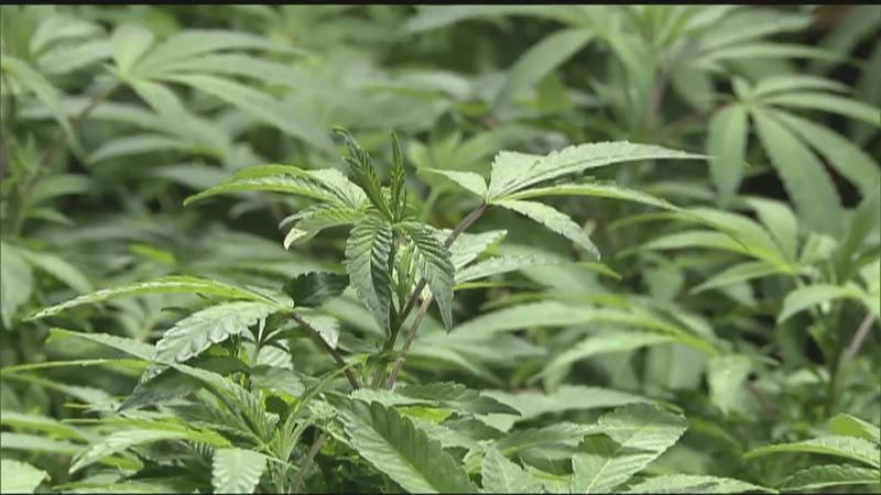 Marijuana economic impact