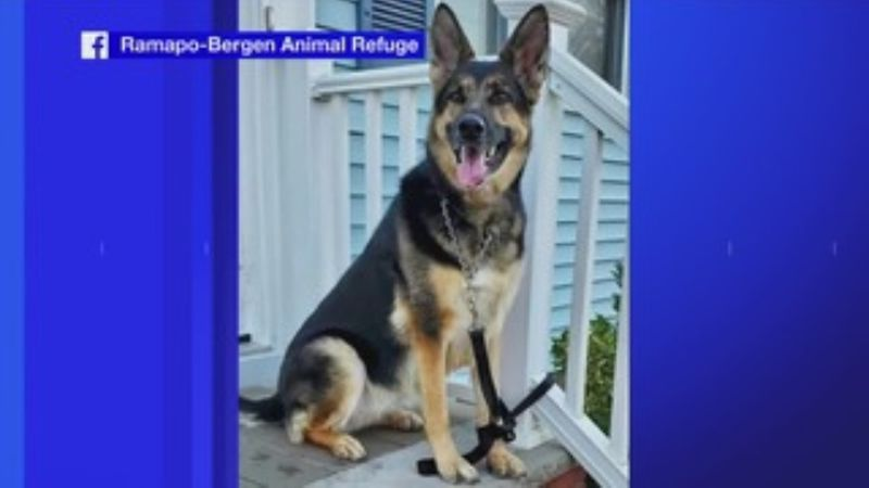 Sadie, a 6-year-old German shepherd, was only adopted a few months ago after she was...