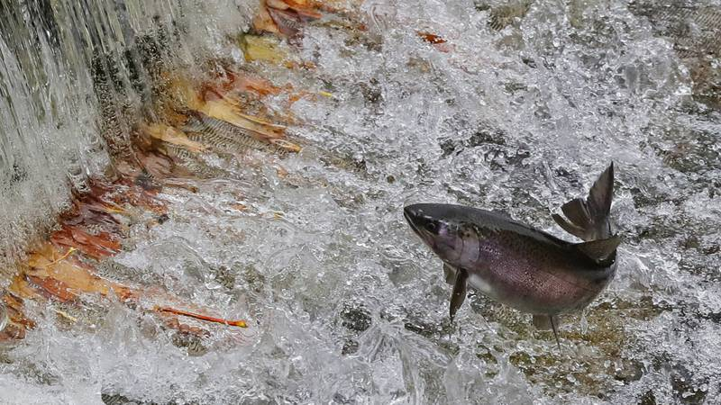 A spawning salmon jumps as water flows over a small dam that has trapped fall leaves, Thursday,...