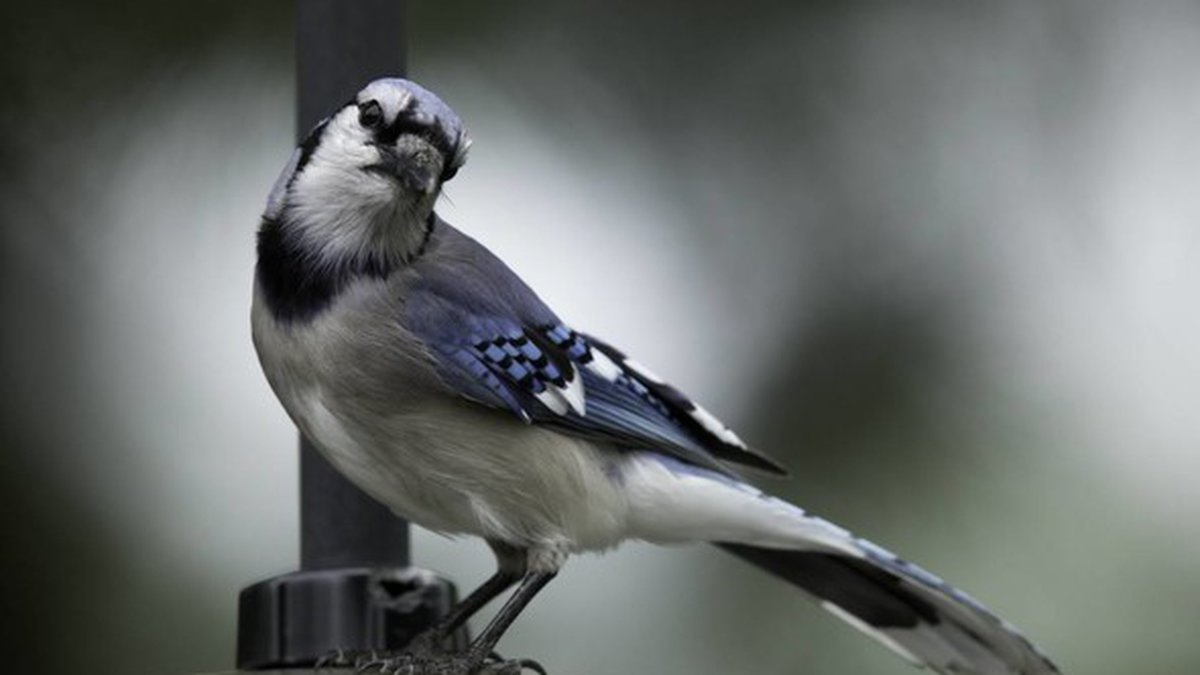 Though numerous states are receiving reports of a mysterious illness affecting songbirds, such...