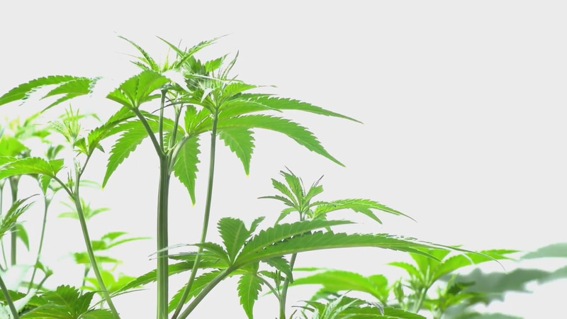 Freeport may get a marijuana growth and distribution operation