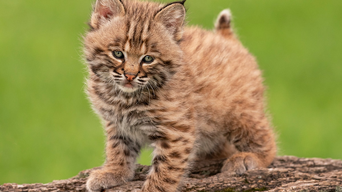 Summerfield Zoo welcomes male bobcat kitten